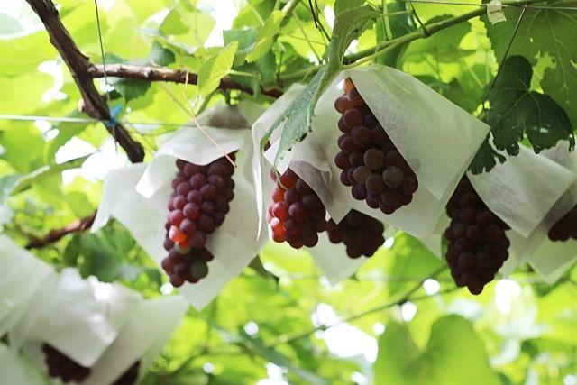 三鷹市、武蔵野市にも果樹園があるって、本当ですか