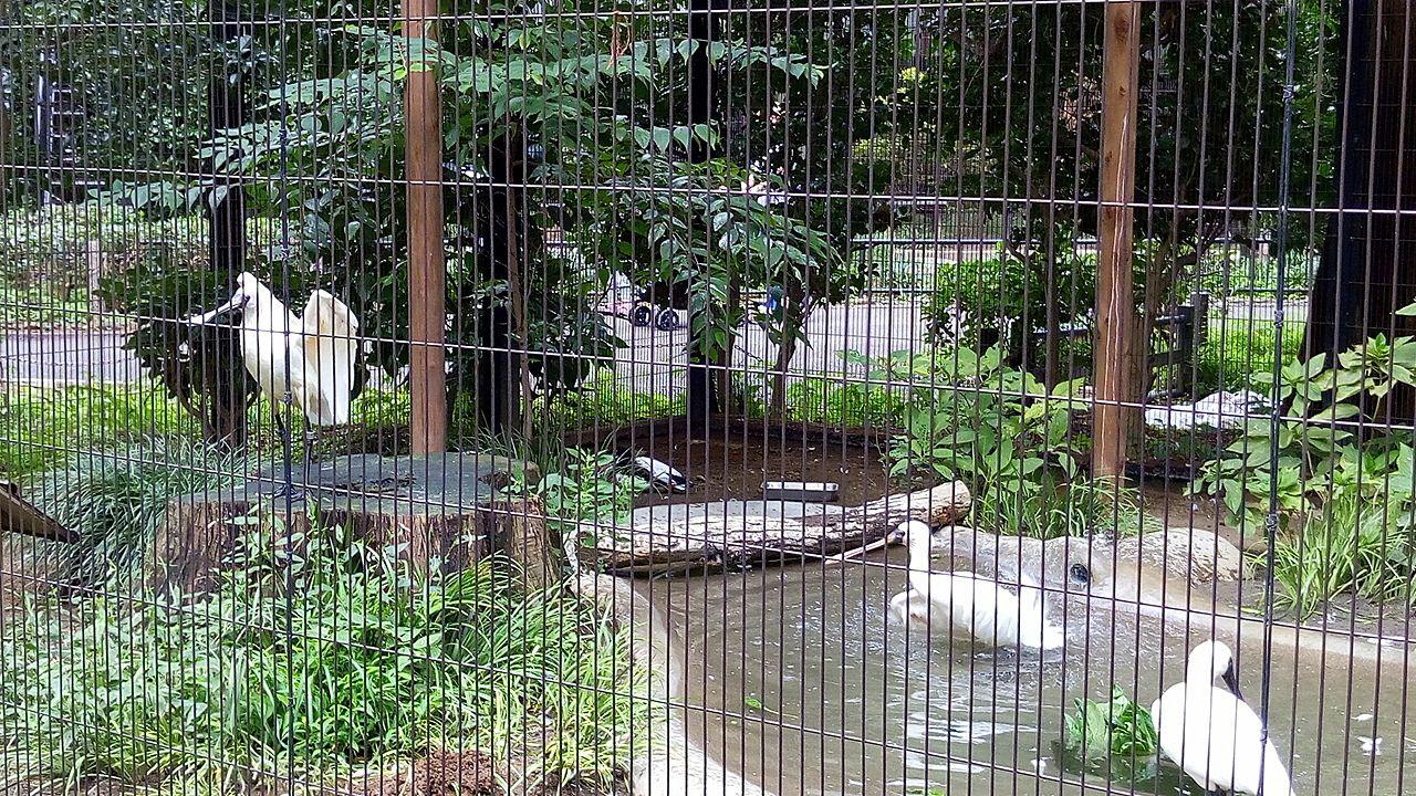 井之頭文化園にはサギ、カモもいます