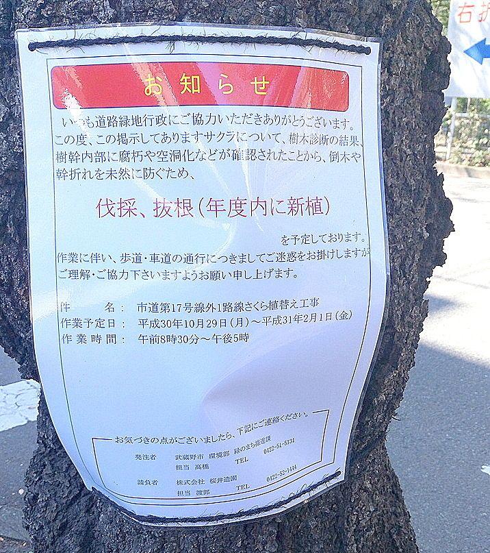 武蔵野市役所前の桜