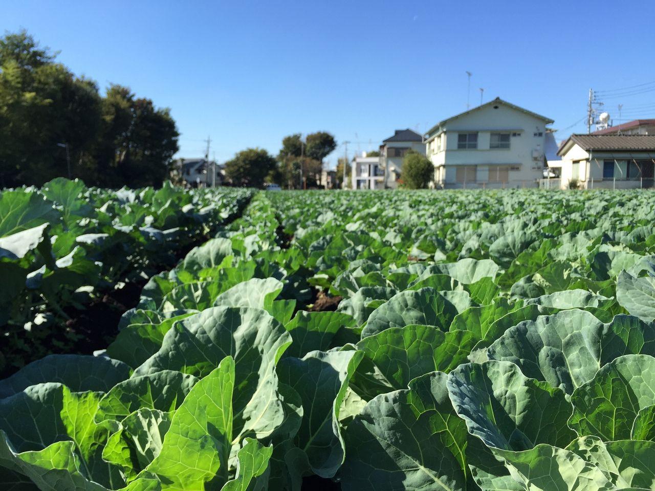 武蔵野市は畑がたくさんあります