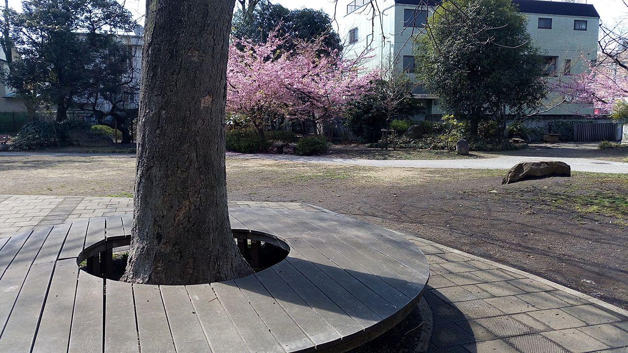 中央通り桜並木公園の桜