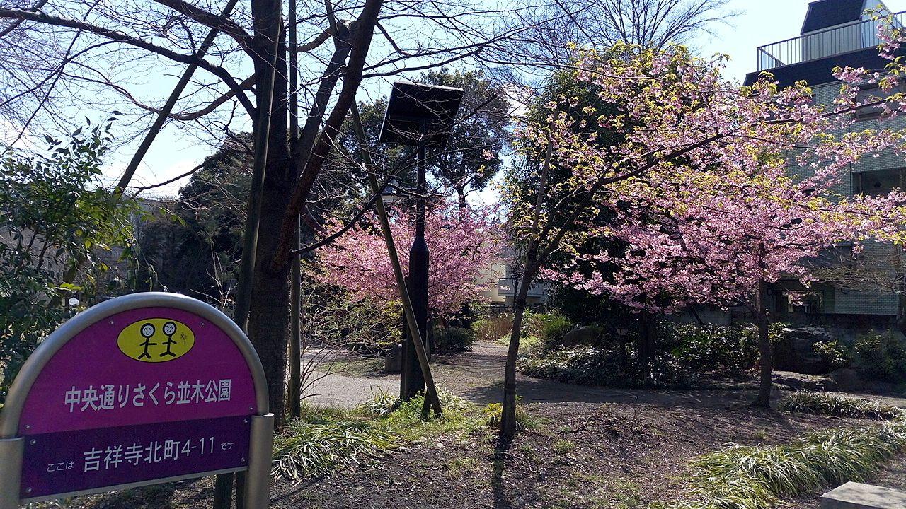武蔵野市、中央通り桜並木公園の桜が咲きました