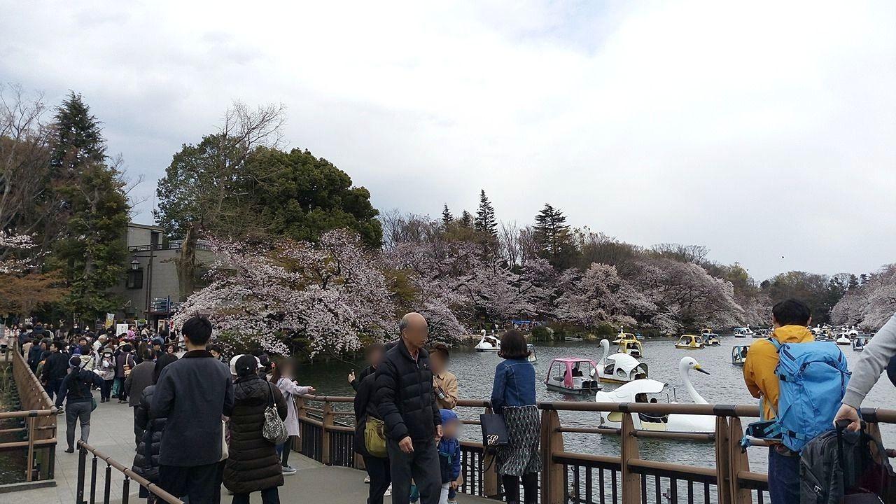 井之頭公園の桜、七井橋