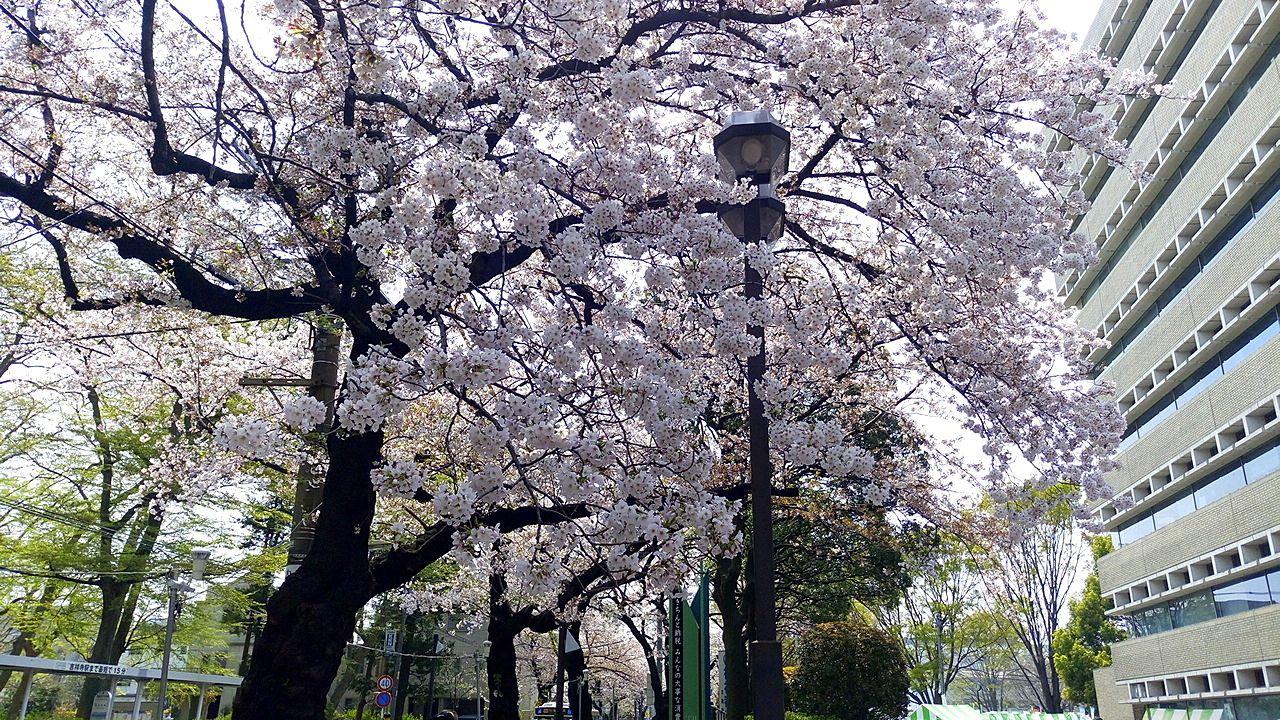 武蔵野市役所の桜並木