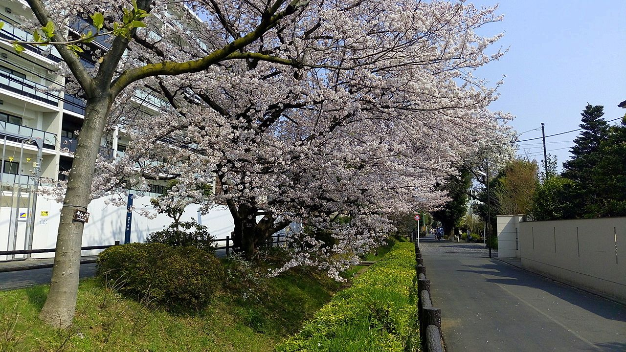 玉川上水の桜