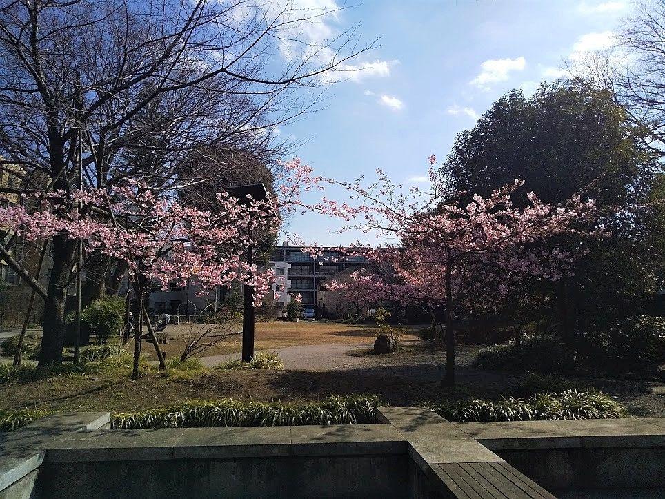 東京の桜開花予想は3月12日、武蔵野市中央通桜並木公園