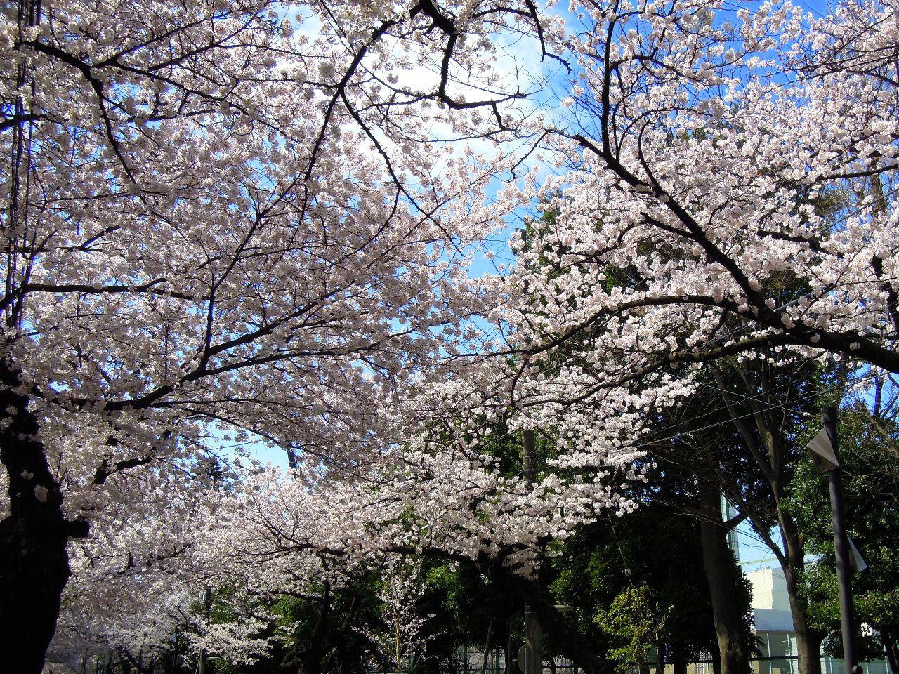 武蔵野桜まつりは2017年4月2日(日)に市民公園をはじめ、体育館周辺で開催されます。市役所前の桜で春を満喫しましょう