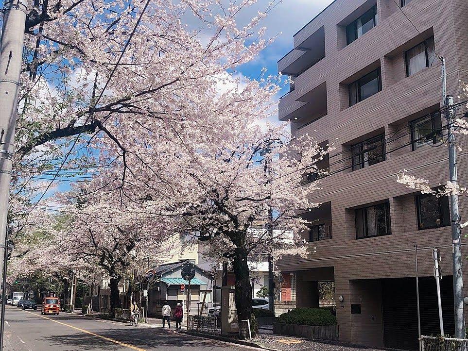 武蔵野市役所前の桜並木