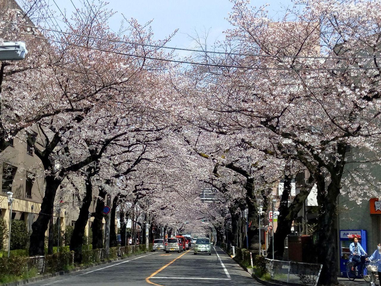武蔵野市役所前の桜はアーチになっていて今が満開です