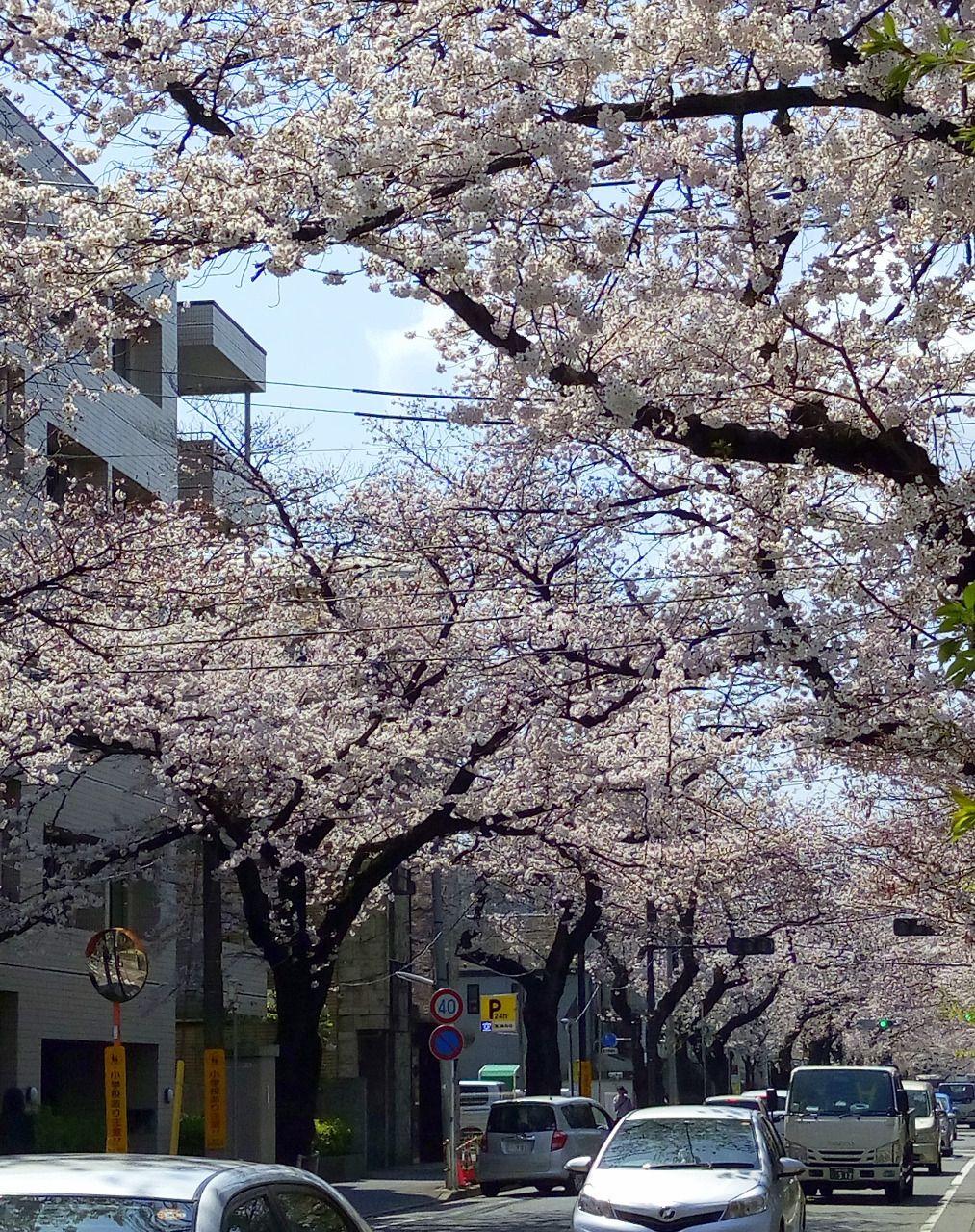 武蔵野市には多くの桜があります。市役所通り、井之頭公園など
