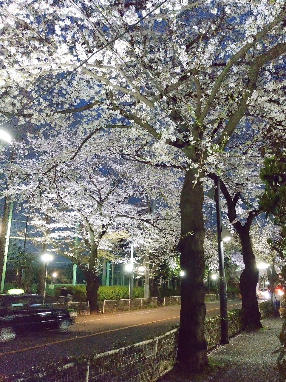 この時期夜桜も楽しめます 武蔵野市