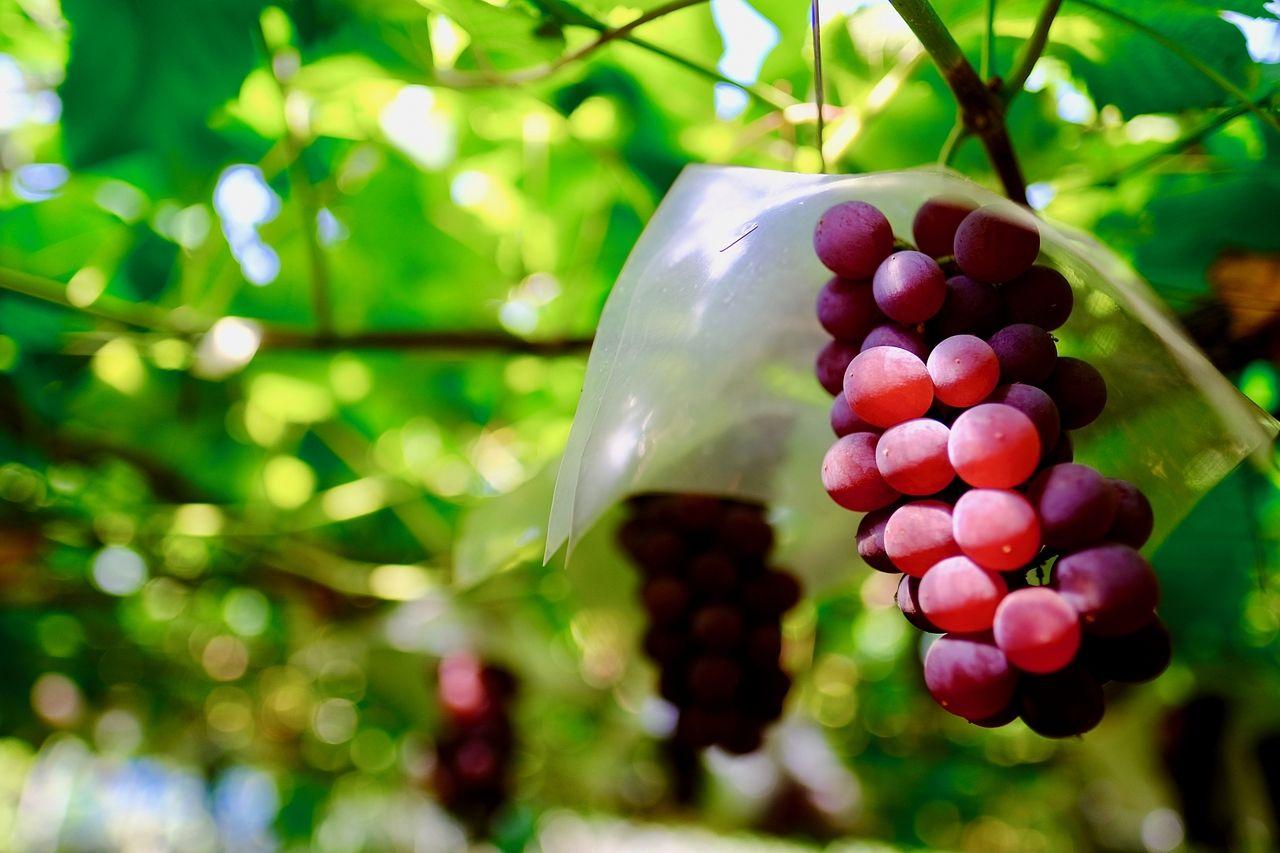 秋の味覚を一足お先に ブドウ狩り&直販のお知らせ