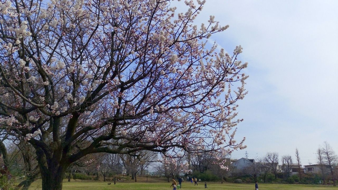 武蔵野さくらまつりは4月1日です